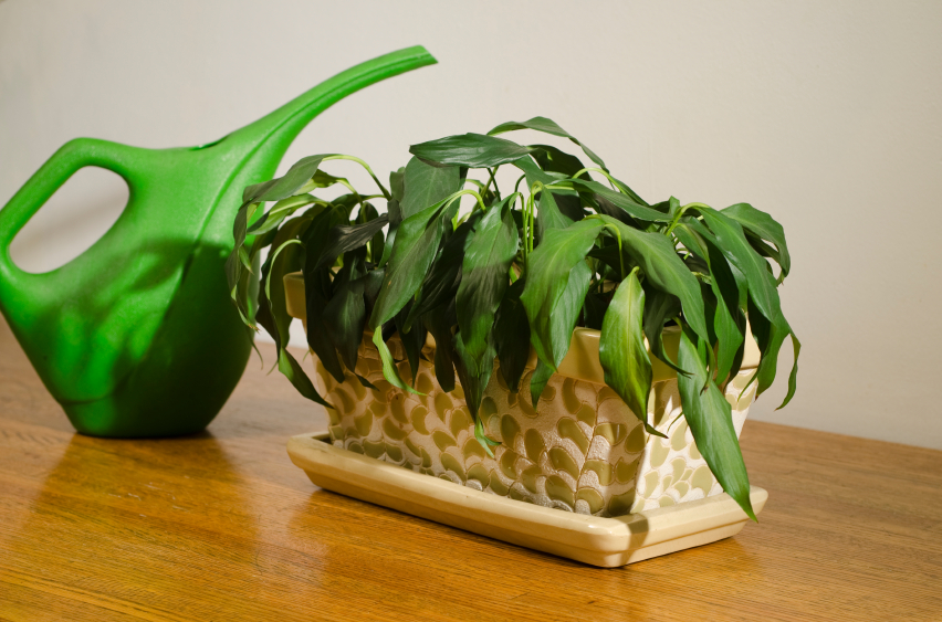 Grüne Gießkanne neben einer vertrockneten Zimmerpflanze